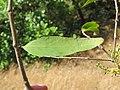 Dendrophthoe falcata var. falcata - Honey Suckle Mistletoe at Blathur 2017 (6).jpg