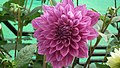 Dhalia from Lalbagh flower show Aug 2013 7929.JPG