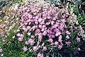 Dianthus monspessulanus 3 (Pyrenees).jpg