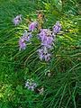Dianthus superbus alpestris 01.JPG