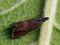 Dichrorampha acuminatana - Листовёртка заострённая (29553919277).jpg
