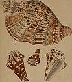 Die Flügelschnecken (Strombea) - in Abbildungen nach der Natur mit Beschreibungen (1845) (20888854076).jpg