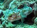 Diodontidae - Cyclichthys spilostylus-001.jpg