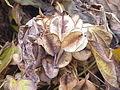 Dioscorea balcanica2.jpg