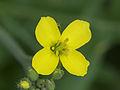 Diplotaxis tenuifolia, wilde rucola bloem (1).jpg