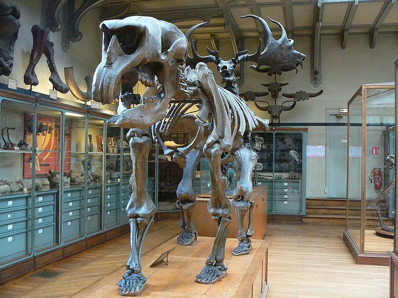 http://upload.wikimedia.org/wikipedia/commons/thumb/1/17/Diprotodon_australis_skeleton.JPG/800px-Diprotodon_australis_skeleton.JPG