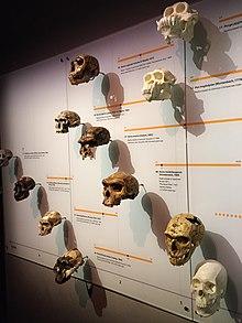 modelul evolutiv al inelului uman)