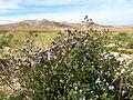 Distant phacelia (Phacelia distans); Sheep Hole Pass (12525792603).jpg