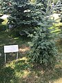 Dmitry Medvedev's Spruce in Tsitsernakaberd.jpg