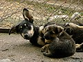 Dogs of Iran سگ ها در ایران 03.jpg