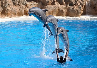 Loro Parque - Three bottlenose dolphins perform a stunt in the Loro Parque Dolphin Show.