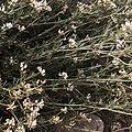 Dorycnium pentaphyllum-Badasse-Tiges-20160423.jpg