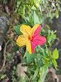 Double colour flower.jpg