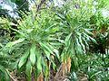 Dracaena aletriformis, habitus, b, Springbokpark.jpg