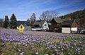 Drebacher Krokuswiesen 2H1A7380WI.jpg