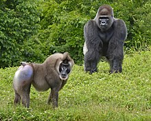 Drill and Gorilla .jpg