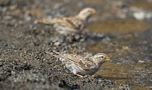 Drink time. Rock Sparrow (Petronia petronia) - Хадны боршувуу (16805215495).jpg