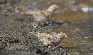 Rock sparrow - Image: Drink time. Rock Sparrow (Petronia petronia) Хадны боршувуу (16805215495)