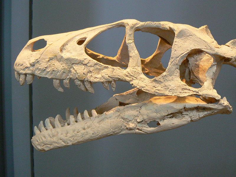 Image:Dromaeosaurus skull paris.JPG
