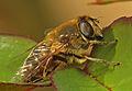 Drone Fly (Eristalis tenax) (13228816945).jpg