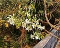 Drumstick flowers of Moringa oleifera.jpg