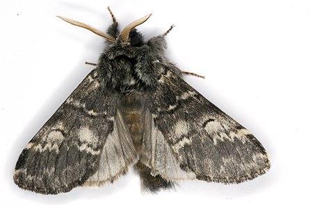 Drymonia ruficornis 05(js), Lodz (Poland).jpg