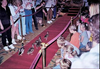 Peabody Hotel - Ducks marching to the fountain