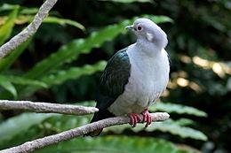 Burung Pergam Besar - Wikipedia Bahasa Melayu, ensiklop