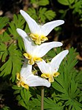 Dutchman's Breeches (14131425206).jpg