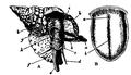 EB1911-Gastropoda 23.png