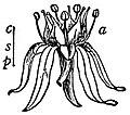 EB1911 Flower - flower of Sedum rubens.jpg