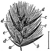 EB1911 Flower - spikelet of Phragmites communis.jpg