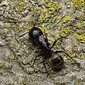 Eastern Black Carpenter Ant (Camponotus pennsylvanicus) - Guelph, Ontario 2020-07-26.jpg
