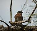 Eastern Bluebird Sialia sialis. female (38487195422).jpg