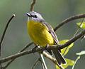Eastern yellow robin - Eopsaltria australis.jpg