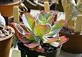 Echeveria gibbiflora - HBG.jpg