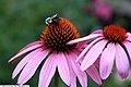 Echinacea purpurea Bright Star 2zz.jpg