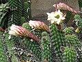 Echinopsis thelegona.jpg