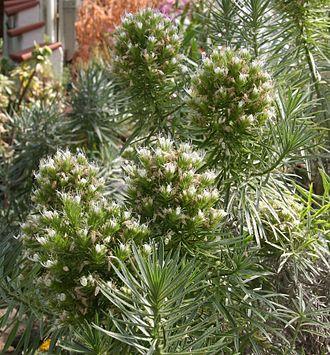 Echium aculeatum - Echium aculeatum