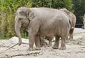 Elefante asiático (Elephas maximus), Tierpark Hellabrunn, Múnich, Alemania, 2012-06-17, DD 06.JPG