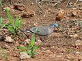 Emerald-spotted Dove (Turtur chalcospilos) (6045314125).jpg