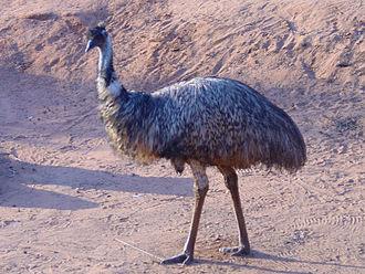 Dreamworld Corroboree - An emu at the Outback Adventure section of Dreamworld Corroboree.
