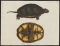 Emys europaea - 1700-1880 - Print - Iconographia Zoologica - Special Collections University of Amsterdam - UBA01 IZ11600119.tif