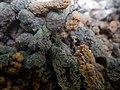 Encroutement algal ou bactérien sur restes de fil de pêche dans la Sèvre niortaise photo F Lamiot 17.jpg