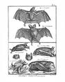 Encyclopédie méthodique - Mammalogie, Pl32.png