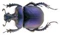 Enoplotrupes sharpi Rothschild & Jordan, 1893.png