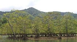 Ensenada de Utría - Mangroven.jpg