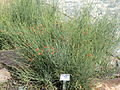 Ephedra chilensis - Palmengarten Frankfurt - DSC01902.JPG