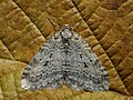 Epirrita autumnata - Autumnal moth - Ларенция осенняя (26069392147).jpg