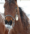 Equine ice beard (4357807228).jpg